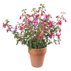 Fuchsia image © Shutterstock (Scisetti Alfio)